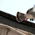 pigeon-escape