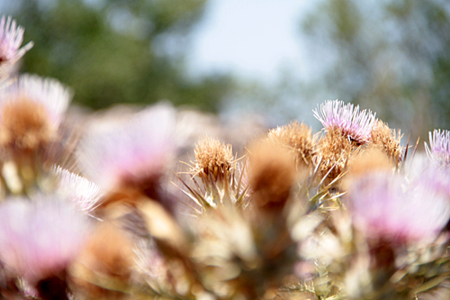 Korn Blume